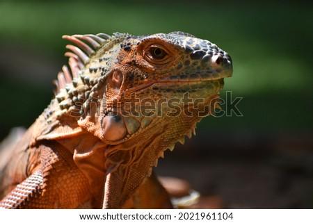 beautiful iguana red orange colored herbivorous lizards looking closeup Royalty-Free Stock Photo #2021961104