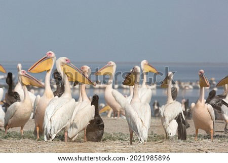 Pink pelicans with chicks on the shore of Lake Manich-Gudilo in Kalmykia, Russia Royalty-Free Stock Photo #2021985896