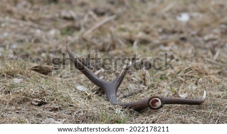 All deer species shed their antlers in winter, after a sustained drop in testosterone ends their life cycle. Several months later, the animals regrow their antlers from spring through late summer.  Royalty-Free Stock Photo #2022178211
