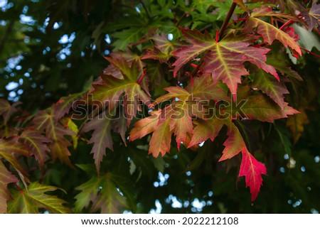 Acer saccharinum Silver maple autumn foliage Royalty-Free Stock Photo #2022212108