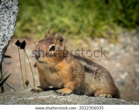A Ground Squirrel sits atop Cascade Pass at North Cascades National Park.  Royalty-Free Stock Photo #2022306035