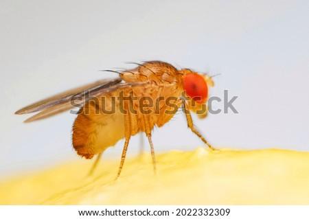 Fruit fly or vinegar fly (Drosophila melanogaster) on banana fruit surface. Royalty-Free Stock Photo #2022332309