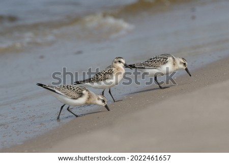 Sanderling foraging on small invertebrates where the sea water just redraws and the preys are abundant under the surface of the wet sand with one that drills the bill into the sand and one has a prey Royalty-Free Stock Photo #2022461657