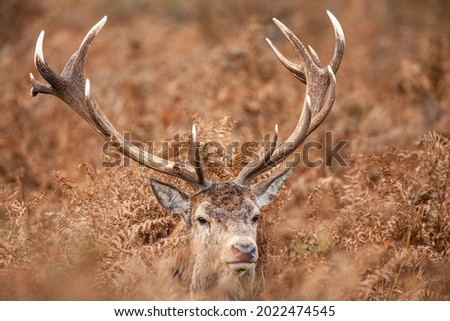 Red deer stag standing in the dead bracken in London's parks in the UK Royalty-Free Stock Photo #2022474545