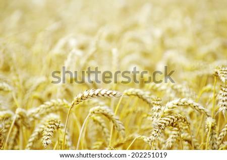 wheat field in summer #202251019