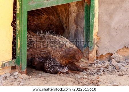 A family of Cape porcupine (Hystrix africaeaustralis) or South African porcupine with young litter