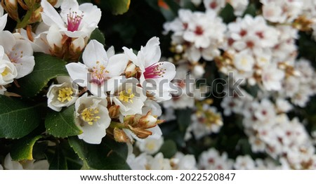 View of the white flower of Rhaphiolepis Cosmic White plant blooming in the garden. It is tough, evergreen shrub, flowers heavily in spring with spot flowering. Beautiful background, wallpaper. Royalty-Free Stock Photo #2022520847