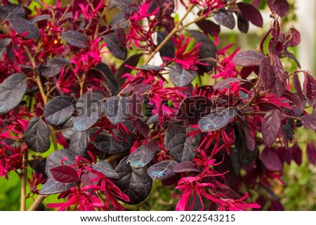 Leaves and flowers on a Loropetalum Chinense plant growing in north east Italy. This evergreen shrub is commonly known as Loropetalum, Chinese Fringe Flower or Strap Flower Royalty-Free Stock Photo #2022543215