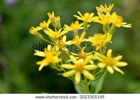 Goldenrod, or golden rod Solidago virgaurea is a perennial herbaceous plant from the Asteraceae family with a short woody rhizome Royalty-Free Stock Photo #2023305149