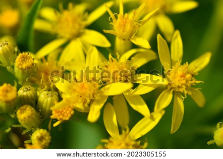Goldenrod, or golden rod Solidago virgaurea is a perennial herbaceous plant from the Asteraceae family with a short woody rhizome Royalty-Free Stock Photo #2023305155