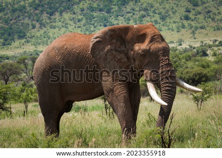 A very large African Elephant bull  with long white tusks (tusker) and covered in dry red mud stands in the lush green African bush with a green hill as background. Royalty-Free Stock Photo #2023355918