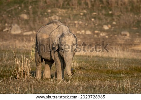 wild asian elephant calf or tusker portrait walking head on with grass in his trunk at dhikala zone of jim corbett national park uttarakhand india - Elephas maximus indicus Royalty-Free Stock Photo #2023728965