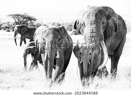 Herd of African Elephants, loxodonta africana, walking through the grasslands of Amboseli National Park, Kenya. The bull elephant is Tusker Tim, a super tusker with tusks that weigh over 100lbs each Royalty-Free Stock Photo #2023844588