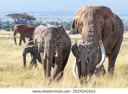 Herd of African Elephants, loxodonta africana, walking through the grasslands of Amboseli National Park, Kenya. The bull elephant is Tusker Tim, a super tusker with tusks that weigh over 100lbs each Royalty-Free Stock Photo #2024263262