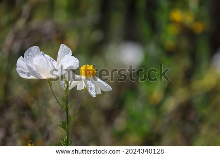 Beautiful romneya coulteri poppy  also known as California tree poppy. Large white crinkly flower with large bright yellow center.