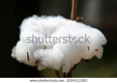 Cotton plant close-up . High quality photo. Selective focus Royalty-Free Stock Photo #2024512283