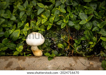 Close up landscape photography of Latvia fauna and flora with white wild mushroom in green backyard lawn. Royalty-Free Stock Photo #2024716670