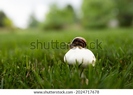 Close up landscape photography of Latvia fauna and flora with white wild mushroom and a snail in green backyard sward. Royalty-Free Stock Photo #2024717678