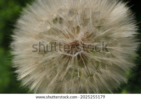 White fluffy Dandelions, natural green blurred spring abstract background.Beautiful Dandelions.Dandelion seeds close up.Picture for screensaver, wallpaper, card design, cover printing.horizontal photo