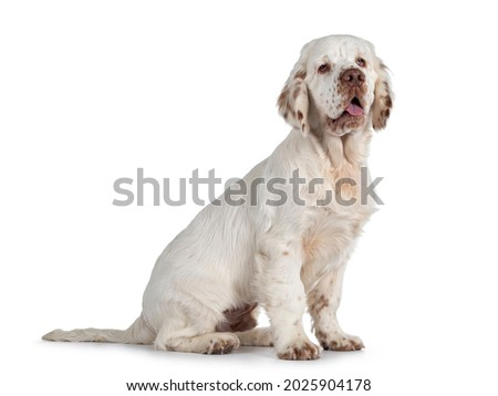 Cute Clumber Spaniel dog pup, sitting up side ways. Looking away from camera with the typical droopy eyes. Tingue out. Isolated on a white background. Royalty-Free Stock Photo #2025904178