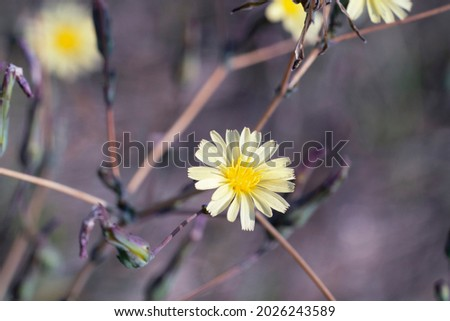 Flowering prickly lettuce plant. Lactuca serriola, compass plant, carole. Place for text.