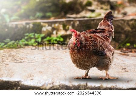 Beautiful brown hen standing, H10N3 avian influenza concept Royalty-Free Stock Photo #2026344398
