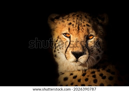 Cheetah face with black background
