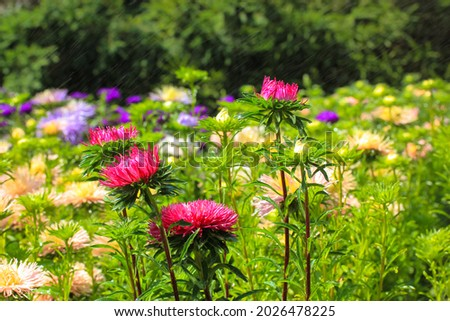 Lots of different blooming chrysanthemums of different colors in the autumn garden. Purple, pink, yellow flowers in the bed in a botanical garden, park. Beautiful floral natural wallpaper. Fall season Royalty-Free Stock Photo #2026478225