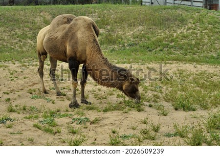 A camel is a large mammalian animal that belongs to the infraclass placental. Royalty-Free Stock Photo #2026509239