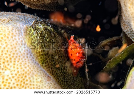 A picture of a beautiful cypraea on the coral