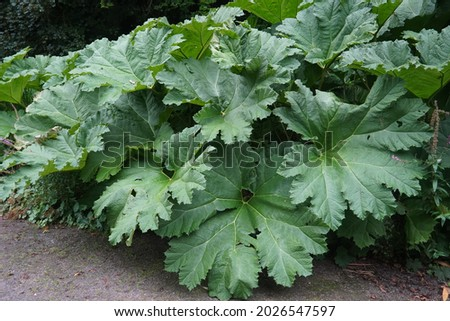 Large Gunnera manicata leaves in Grugapark Essen, is a species of flowering plant in the Gunneraceae family from Brazil.Common name as Brazilian giant-rhubarb, or giant rhubarb Royalty-Free Stock Photo #2026547597