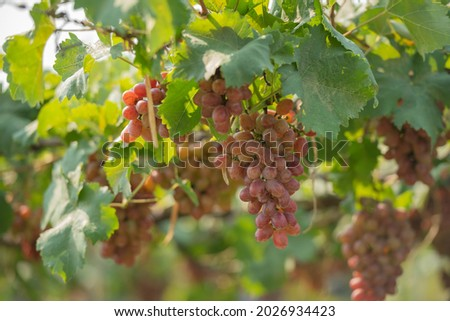 red grapes on the vine in the vineyard. Vine and bunch of white grapes in garden the vineyard. black grapes in the vineyard field, Ripe green grapes ready for harvest. Agriculture grape farm. Royalty-Free Stock Photo #2026934423
