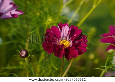 Two toned seashell cosmos flowers growing outdoors. Flower garden in Western Pennsylvania. Royalty-Free Stock Photo #2027063582
