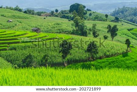 Rice farm on the mountain #202721899