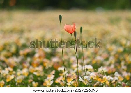 Flower of long headed poppy and its fruits are in the flower garden.