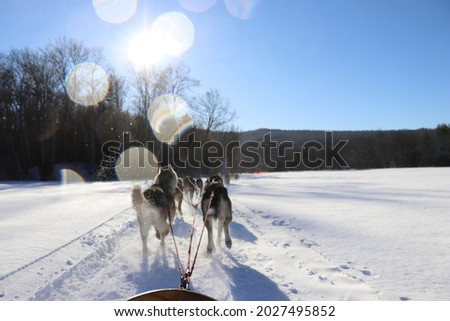 sled dogs winter adventure view from dog sled huskies pulling dog sled through snow in bright sunny winter days fun adventure with sun glare fun cold adventures alaska New England