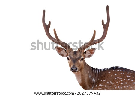 close up picture Spotted deer,Cute spotted fallow deer isolated on the white background.  Royalty-Free Stock Photo #2027579432