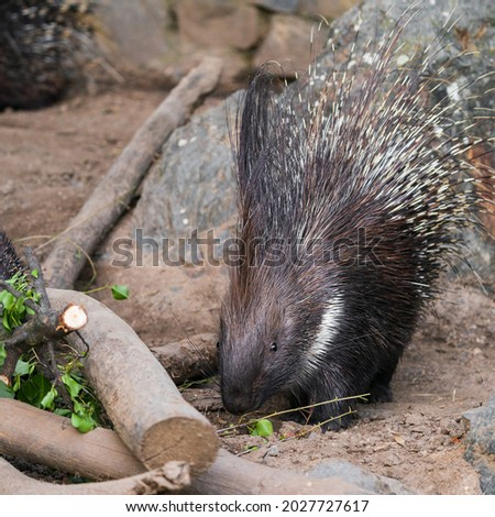 Porcupines are large rodents with coats of sharp spines, or quills, that protect them against predation. The term covers two families of animals: the Old World porcupines of family Hystricidae.