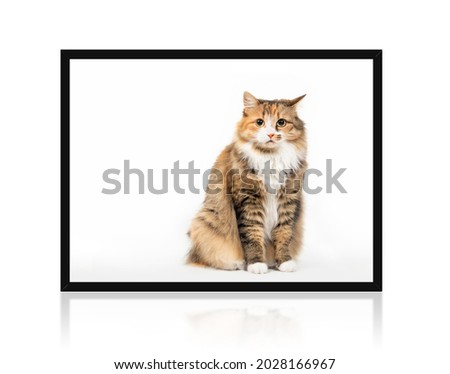 Cat sitting upright inside a picture frame with questioning or annoyed expression while looking at the camera. Cute fluffy orange white female kitty with one ear tilted to the side. Isolated on white.