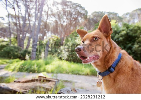 A mixed breed tan large dog in nature. In a forest. Wearing a blue collar.  Royalty-Free Stock Photo #2028231212