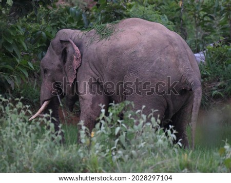 The Indian elephant  is one of  subspecies of the Asian elephant and native India. Listed as Endangered on the List. This tusker is involved in Human-elephant conflict in chhattishgrah. Royalty-Free Stock Photo #2028297104