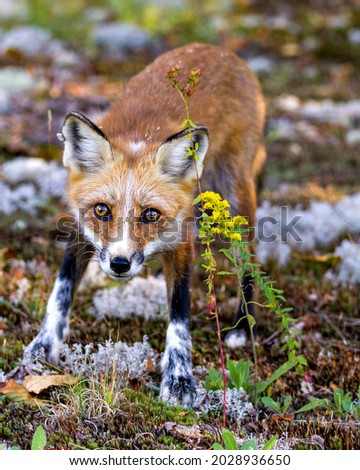 Red fox front view looking at camera with a blur foliage background and yellow wild flowers foreground in its environment and habitat surrounding. Fox Picture. Red Fox Stock Photo and Image.