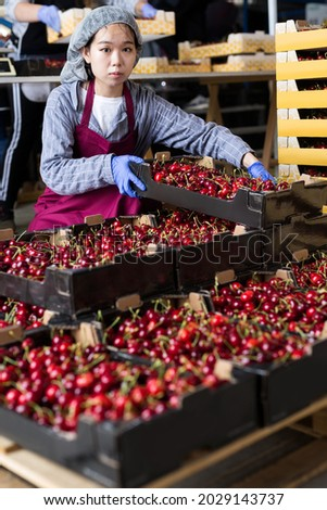Chinese Girl working at the cherry warehouse. High quality photo