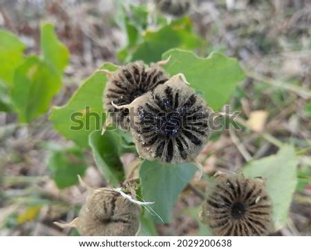 wild black flower high res stock image