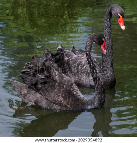 Two black swans on the surface of the lake close-up. Swans swim in greenish water. Royalty-Free Stock Photo #2029354892