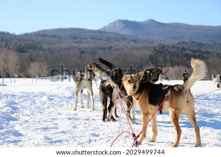 Alaskan husky sled dogs harnessed to sled standing in snow with mountains behind read for adventure dog sled dog team alert huskies