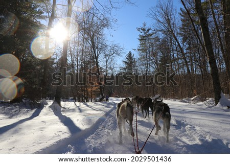 sled dogs pulling sled and running through forest working dogs Alaskan Siberian huskies husky dogs running through snow pulling sled through woods in winter rugged terrain race with sun glare and cold