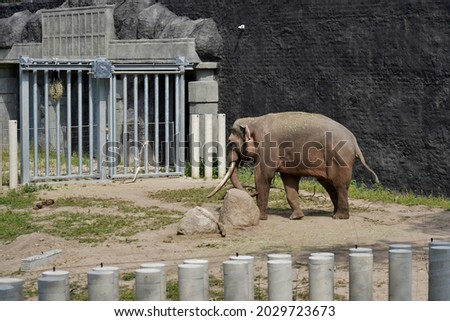 The Indian elephant (Elephas maximus indicus) Royalty-Free Stock Photo #2029723673
