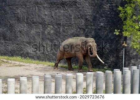 The Indian elephant (Elephas maximus indicus) Royalty-Free Stock Photo #2029723676