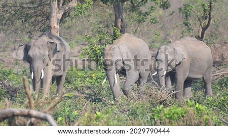The Indian elephant (Elephas maximus indicus) is one of three extant recognised subspecies of the Asian elephant and native to mainland Asia. Listed as Endangered. three tusker friend. Royalty-Free Stock Photo #2029790444